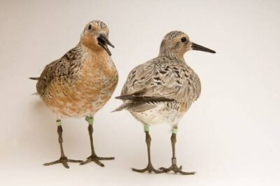 Studio portrait of red knots (Calidris canutus). The species is a candidate for listing under the Endangered Species Act due to a rapid decline in population. It is on one food during it's northward migration: horseshoe crab eggs. Overfishing of the crabs has led a dramatic the decline of both knots and crabs.