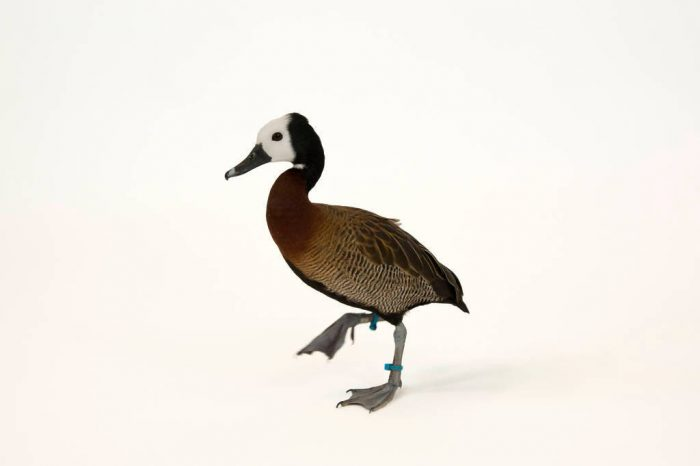 A white-faced whistling duck (Dendrocygna viduata) at the Lincoln Children's Zoo.