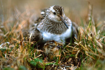 A nesting dunlin (Calidris alpina) with an hours-old chick on the tundra near Barrow, Alaska.