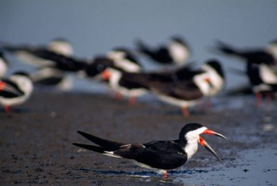 Photo: Black skimmers (Rhynchops niger) on a salt pond beside San Diego bay in California.