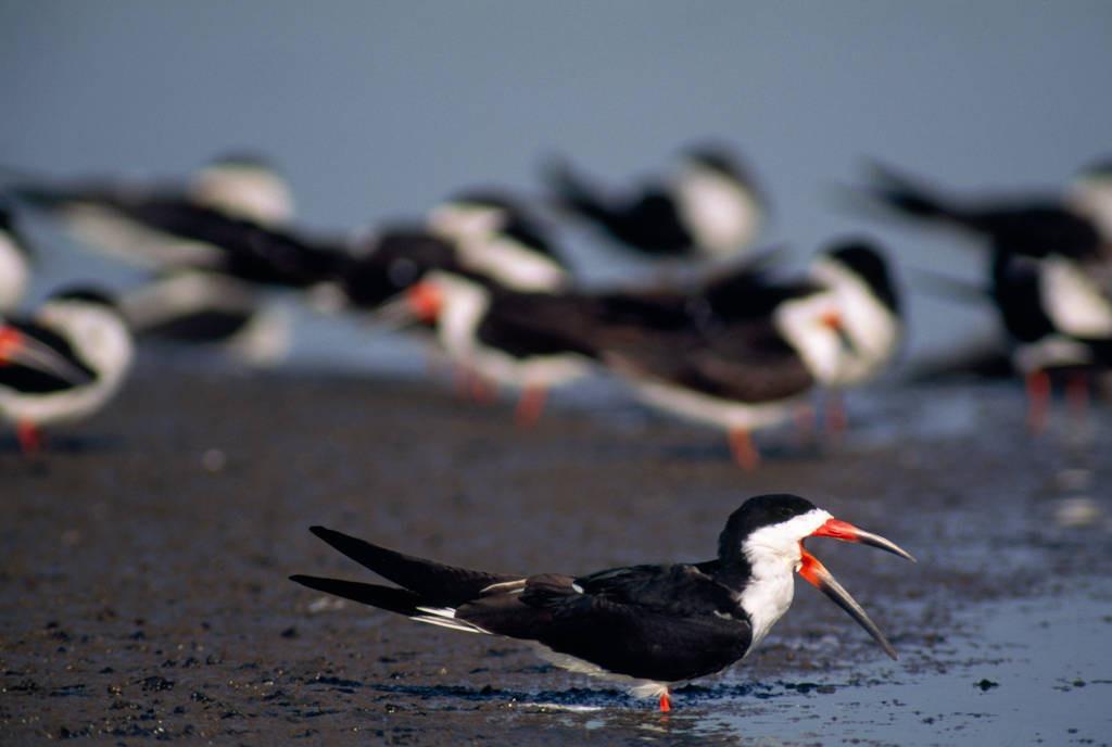 Photo: Black skimmers (Rhynchops niger) on a salt pond beside San Diego bay in California.