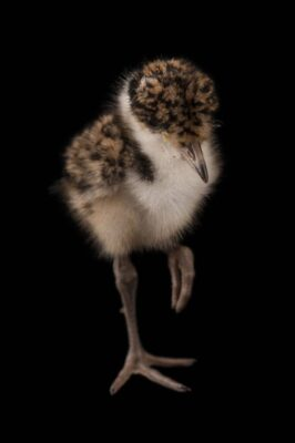 Picture of a masked lapwing chick (Vanellus miles).