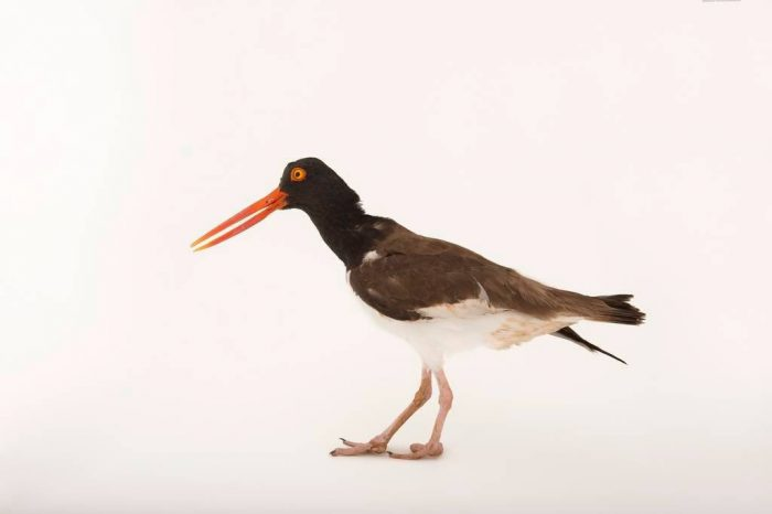 An American oystercatcher (Haematopus palliatus) at the Sedge Island Natural Resource Education Center in the Sedge Islands Marine Conservation Zone, Barnegat Bay, New Jersey.