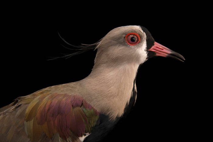 Picture of a Southern lapwing (Vanellus chilensis) at the Palm Beach Zoo.
