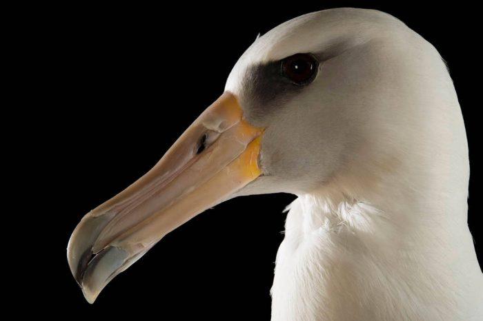 Picture of a near threatened Laysan albatross (Phoebastria immutabilis) at the Monterey Bay Aquarium.