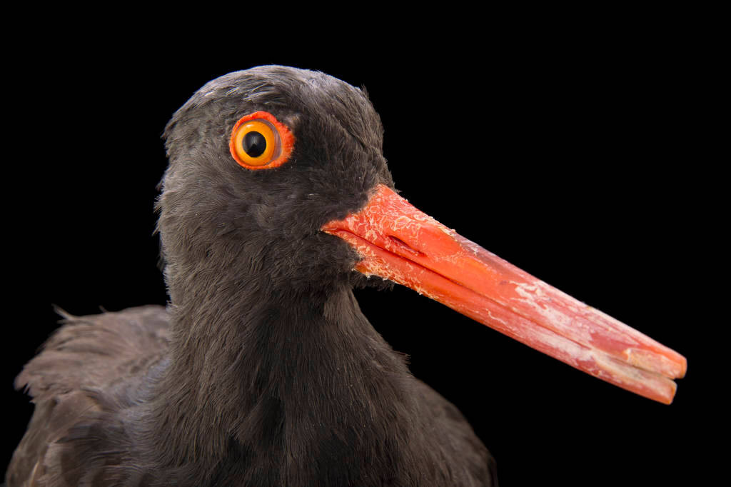 Picture of a black oystercatcher (Haematopus bachmani) at the Monterey Bay Aquarium.