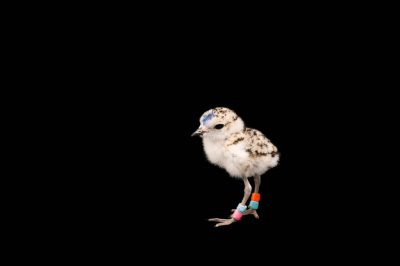 Picture of a week-old western snowy plover chick (Charadrius nivosus nivosus) at the Monterey Bay Aquarium.
