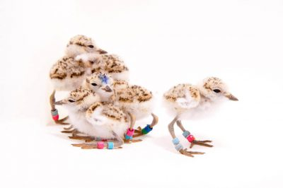Picture of Week old western snowy plover chicks (Charadrius nivosus nivosus) at the Monterey Bay Aquarium.
