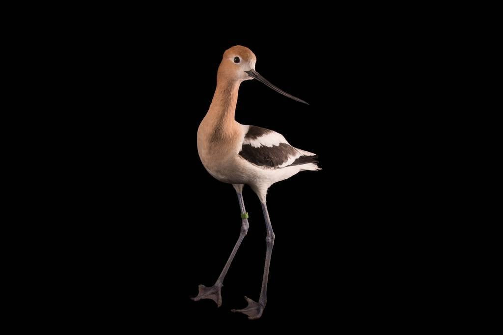 Picture of an American avocet (Recurvirostra americana) at Tracy Aviary.