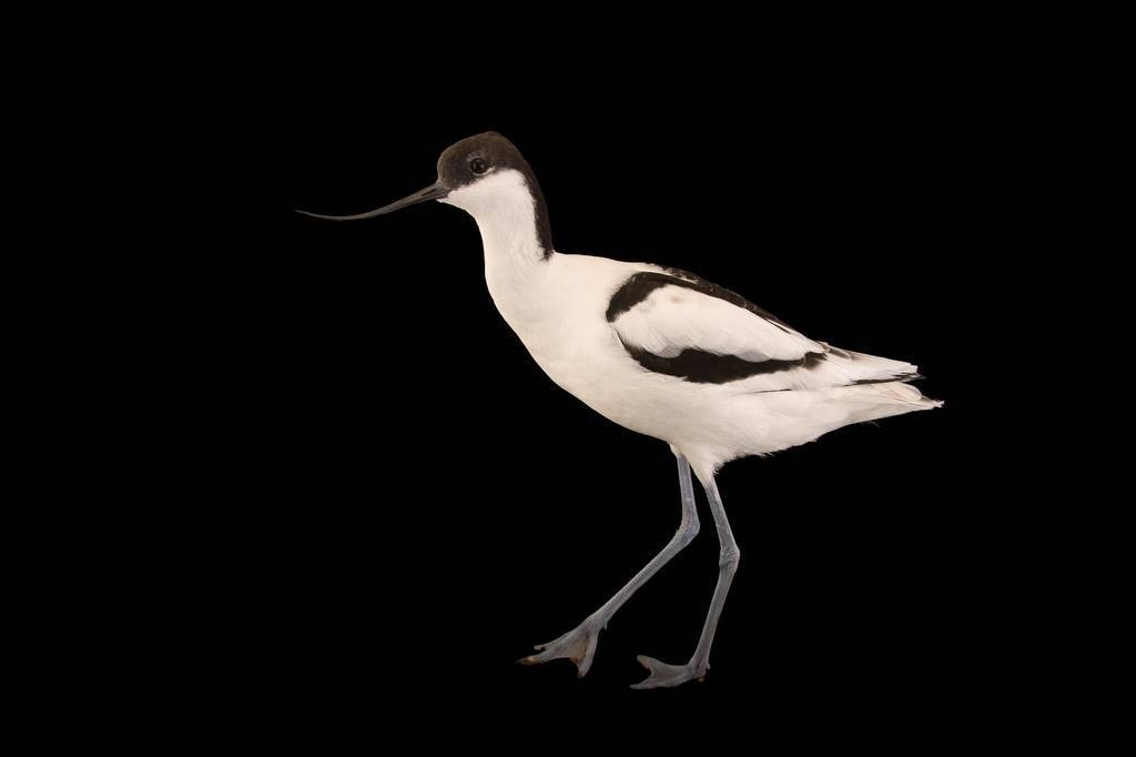 Picture of a pied avocet (Recurvirostra avosetta) at Sylvan Heights Bird Park.