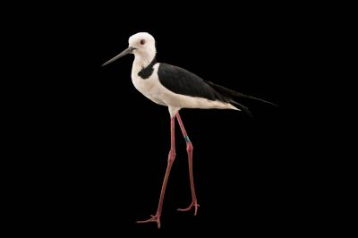 Picture of a white-headed stilt (Himantopus leucocephalus) at Healesville Sanctuary.