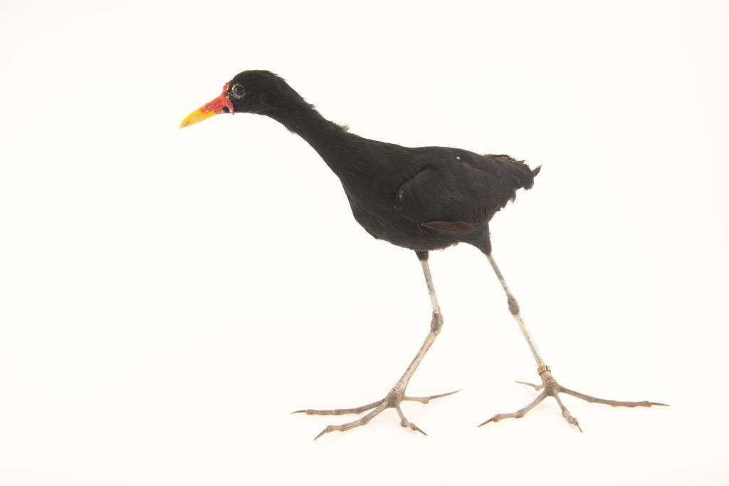 Picture of a wattled jacana (Jacana jacana) at the National Aviary breeding center in Palmar, Colombia.