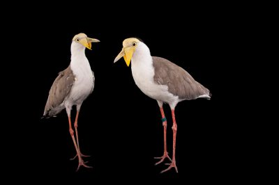 Picture of a pair of masked lapwings (Vanellus miles) at the Columbus Zoo.