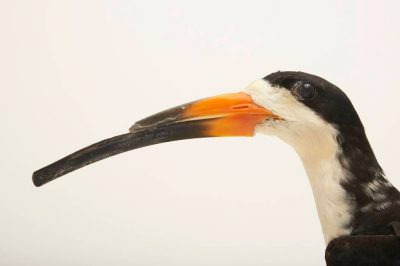 Picture of a black skimmer (Rynchops niger) named Boris at the Buttonwood Park Zoo in New Bedford, Massachusetts.