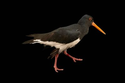 Picture of a South Island pied oystercatcher (Haematopus finschi) at the Kiwi Birdlife Park in Queenstown, New Zealand.