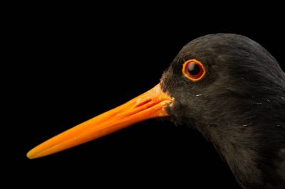 Picture of a South Island pied oystercatcher, Haematopus finschi, at the Kiwi Birdlife Park in Queenstown, New Zealand.
