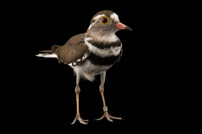 Photo: A three banded plover (Charadrius tricollaris) at the Plzen Zoo in the Czech Republic.