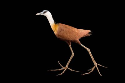 African jacana (Actophilornis africanus) at the Omaha Zoo.