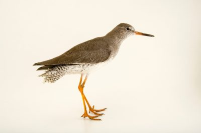 Photo: Common redshank (Tringa totanus) at the Plzen Zoo in the Czech Republic.