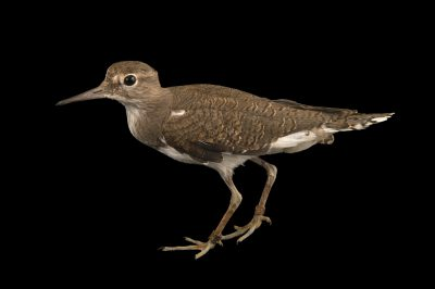 Photo: Common sandpiper (Actitis hypoleucos) at the Plzen Zoo in the Czech Republic.