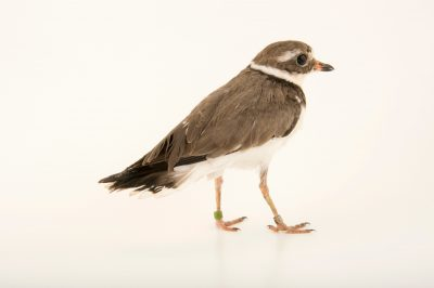 Photo: Common ringed plover (Charadrius hiaticula) at the Plzen Zoo in the Czech Republic.