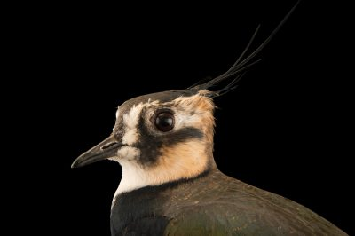 Photo: Northern lapwing (Vanellus vanellus) at the Plzen Zoo in the Czech Republic.