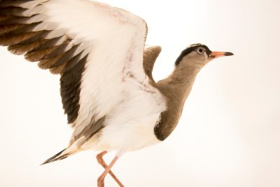 Photo: Crowned lapwing (Vanellus coronatus) at the Exmoor Zoo in England.