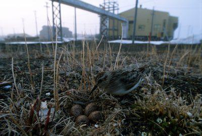 Photo: Shorebird on Alaska's North Slope.