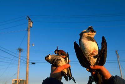 Shorebirds killed by a collision with power lines.
