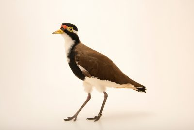 Photo: Banded lapwing (Vanellus tricolor) at Moonlit Sanctuary.
