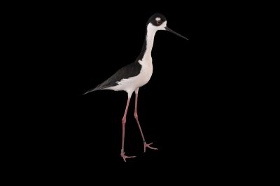 Photo: A black-necked stilt (Himantopus mexicanus) at the Miller Park Zoo.
