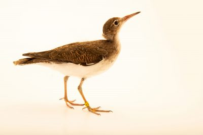 Photo: A spotted sandpiper (Actitis macularius) at the Wildlife Rescue Center of Minnesota.