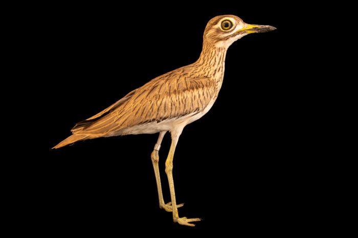 Photo: A Senegal thick-knee (Burhinus senegalensis) at Sylvan Heights Bird Park in Scotland Neck, North Carolina.