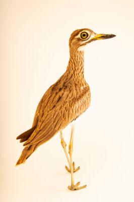 Photo: A Senegal thick-knee (Burhinus senegalensis) at Sylvan Heights Bird Park in Scotland Neck, North Carolina.