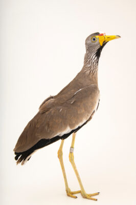 Photo: An African wattled lapwing (Vanellus senegallus senegallus) at the Prague Zoo.