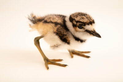 Photo: A two-day-old killdeer chick (Charadrius vociferus vociferus) at Rogers Wildlife Rehabilitation in Hutchins, TX.