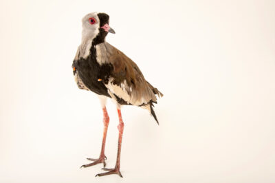 Photo: A Chilean lapwing (Vanellus chilensis chilensis) at Unidad de Rehabilitación de Fauna Silvestre.