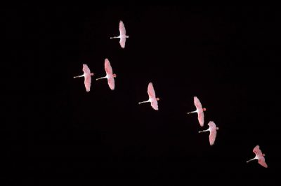 Photo: Roseate spoonbills in flight over Sabine NWR.