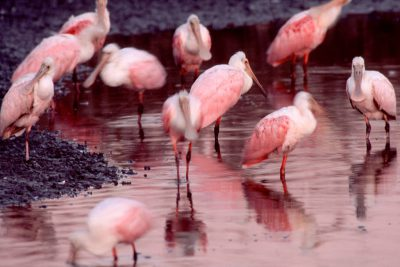 Photo: Roseate spoonbills with egrets at Sabine NWR in Louisiana.