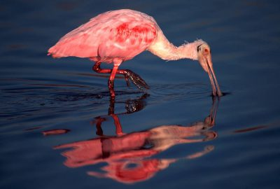Photo: Roseate spoonbill, Sabine NWR.