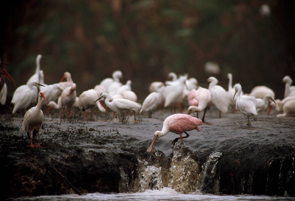Photo: Roseate spoonbill with egrets and ibis at the Florida Panther NWR.