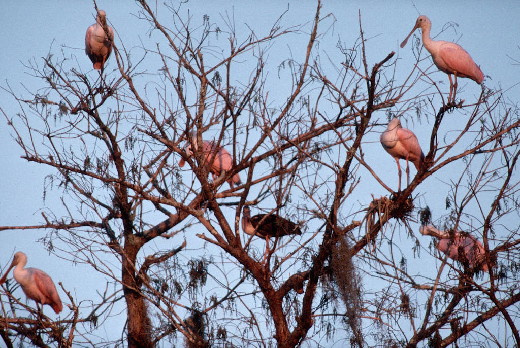 Photo: Roseate spoonbills on the roost at the Florida Panther NWR.