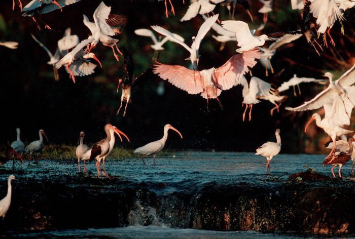Photo: A roseate spoonbill lands in the midst of egrets and ibis fishing in the Florida Panther NWR.