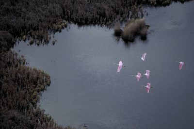 Photo: Roseate spoonbills at Sabine NWR in Louisiana.