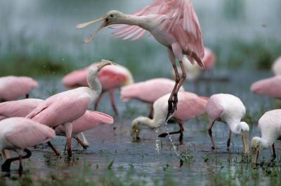 Photo: Roseate spoonbills engage in battle in the Pantanal, one of the world's largest wetlands, in Brazil.