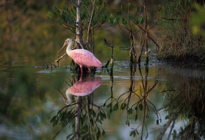 Photo: Roseate spoonbill at Ding Darling NWR.