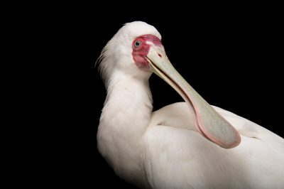 Picture of an African spoonbill (Platalea alba) at the Houston Zoo.
