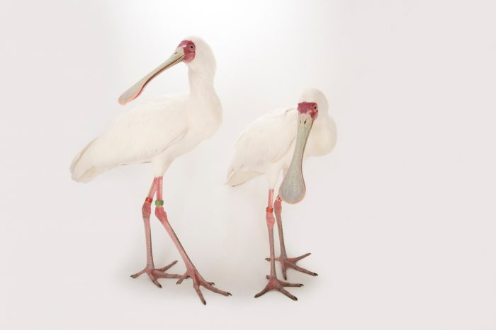 Picture of two African spoonbills (Platalea alba) at the Houston Zoo.