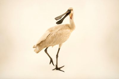 Picture of a Eurasian spoonbill (Platalea leucorodia) at Kamla Nehru Zoological Garden, Ahmedabad, India.