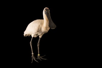 Photo: Royal spoonbill (Platalea regia) at Healesville Sanctuary.